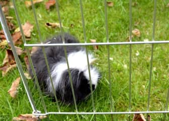 Wee Jock, the guinea pig, out for his day play in the front yard.
