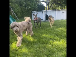 Happy pups, this is Gus, Jewel and Nova having a romp in my yard.