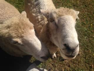 A couple of elder sheep friends
