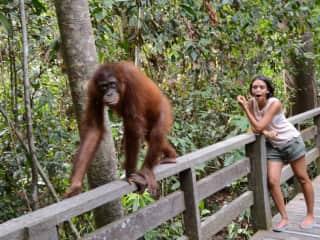 Jaw-dropping moment with an orangutan (Borneo, Malaysia: May-16)