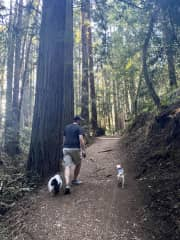 Hiking through the redwood trees in Oakland, CA with our housesit rescues; Lola and Stella!