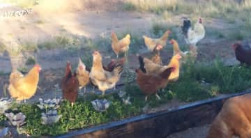 macy and the chickens, hanging out.
