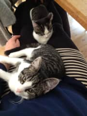 My last two kittens, Snacky and Patatje, from the same nest on my lap. Love them to death! My sister and me parted them for a week but they were more happy together so I gave Snacky to my sister and her kids (that hurt... but it was better for the cats)