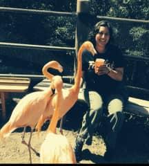 Flamingoes eating soaked dog food