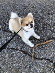 Maxi small Pomeranian 5 years old