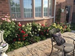 Patio Roses, in my Back Garden