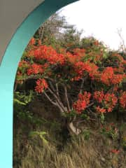 A Flamboyan tree blooming outside our window.