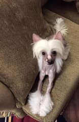 Birdie the Chinese Crested