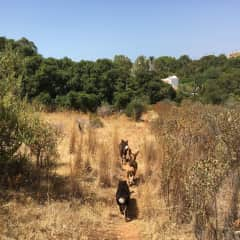 Zara, Tuna and Biggs, returning home after a nice walk in the woods. Algarve, Portugal.