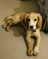 The adorable Ochre - a puppy who loved to run