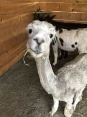 My favorite alpaca! Juanita. I guess she is the only one I know, but she is adorable!