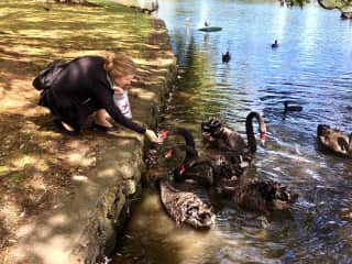 Masha feeding some swans in Auckland, New Zealand (Nathan's home country)