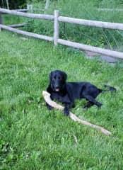 Ruby enjoying his new prize.  Fun with retrieving sticks.