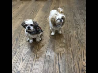 My daughter's in-laws dogs that I doggy and house sit for.