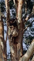 A koala who is on our Farm