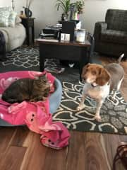 My beagle rescue, Goldie and her kitty sister, Harper.