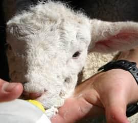 Hand-feeding a newborn lamb Lauren saved and named Strawberry.