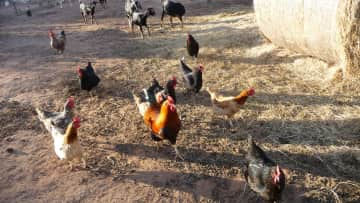 Some of the chickens and goats I cared for house sitting in Oklahoma, USA, 2016