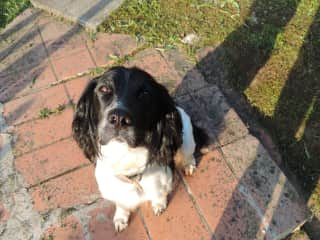 Maya the small springer spaniel