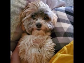 Daisy, my mom's Shih tzu mix that I have helped train and care for