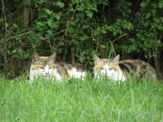 Our cats in the garden. 2017