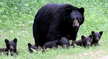 Black bears.  I love hiking in the woods and mountains.