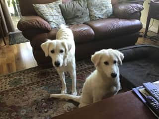 The two dogs together