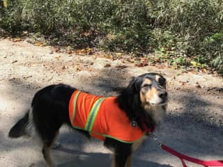 Hunting season in New Hampshire USA- Safety First!  Spanky is sporting his vest during our daily walks.