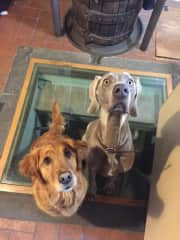Maisie and her friend from up the road. They are waiting for a treat in the kitchen.