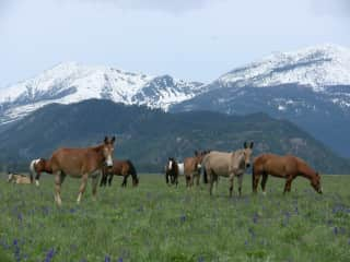 Horses from our old outfitting business in Montana out to pasture on a fine late spring day