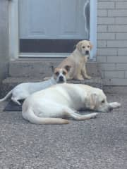 AVIRY and my first two dog guide fosters  (GARMIN and BORDEN)