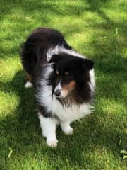 Charcoal, our Shetland Sheepdog born Sept. 12, 2011. Very sweet disposition.