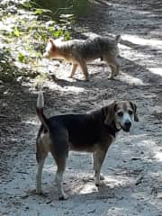 Hiking through the woods on Cape Cod with Charley the beagle and Toby
