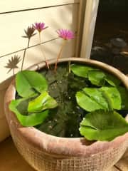 Water garden.  We have three on our front porch.