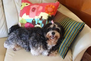 Our other Havanese, Ella, is 8 and we have had her for 2 years. She was a show and breeding dog and we're so happy she came to us. A sweet little girl.
