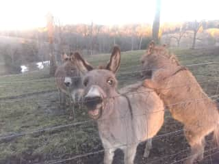 Chrissie, Homer and Little Bit on the farm sit. They also like apples and carrots.
