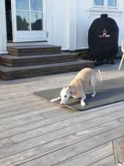 Practicing his downward facing dog