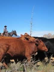 Me herding cattle in Colorado