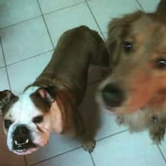 Marley & Beckner - bulldog & Irish Setter