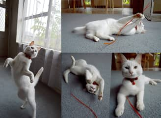 Glinda loves to play, always a kitten at heart!