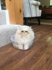 Astrid, 5 month old Persian