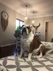 Dave Mastiff/bulldog 45kilo
