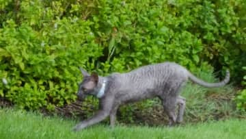 Norrin is allowed outside with his collar between 7am-4pm