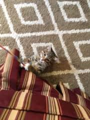 Frankie, the frisky kitten I sat for.