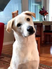 Jackson our 18 month old lab mix