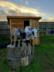 Our 2 pygmy goats, Daisy and Dolly