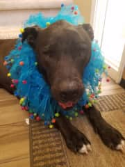 Suzie-Q on her way to the ball. Not really but close.. pet adoption event!