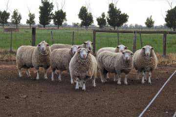 Rams on the farm
