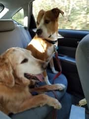 Buddy (golden retriever) and Hazel (pit bull) on the road with us