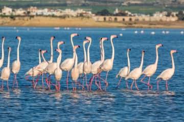 Flamingos on Larnaca salt lake